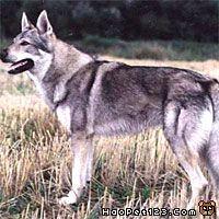 深圳 狼犬/:捷克斯洛伐克威勒科犬:Czechwolf Dog :Dyscophus Guineti...