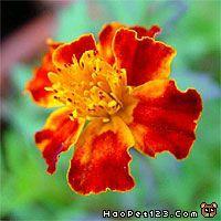 黄草/:红黄草、藤菊、小万寿菊:Salvia spp :Tagetes patula :70/...