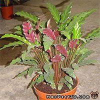 竹芋/:披针叶竹芋、花叶葛郁金:Fructus amomi rotundus :...
