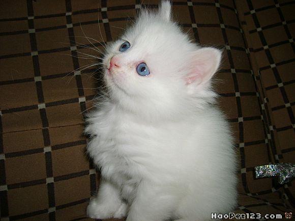 辽宁大连配种土耳其安哥拉猫