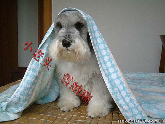 迷你雪纳瑞犬:『可爱多』的照片