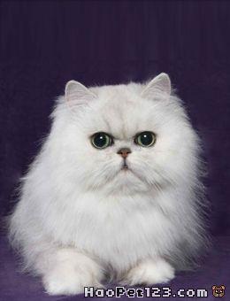 美种金吉拉兔:『可爱多』的照片 - 宠物相册_123宠物