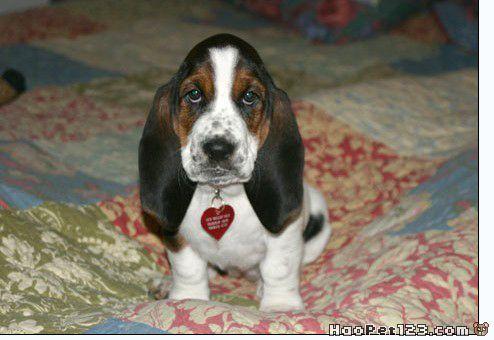 巴赛特猎犬:『可爱多』的照片